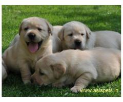 Labrador Puppy For Sale in Kathmandu | Best Price in Nepal
