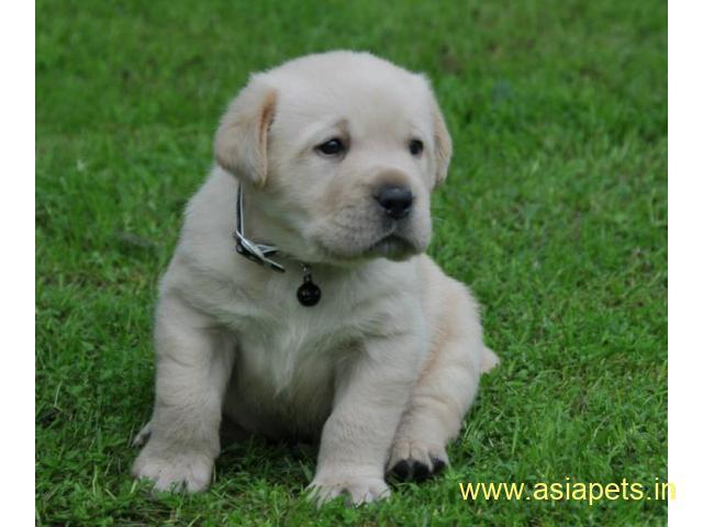 Labrador Puppy For Sale in Kathmandu   Best Price in Nepal