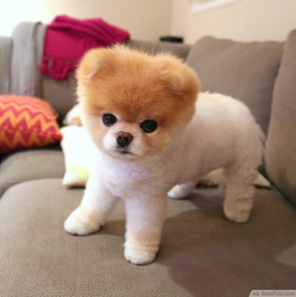 Boo Pomeranian puppies for sale