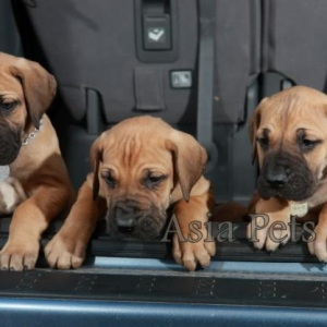 Great dane puppy for sale in india, Great dane pup price in india