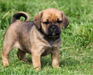 Puggle puppy for sale in india