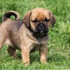 puggle dog puppy for sale in india