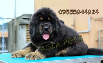 Tibetan mastiff puppy for sale in india