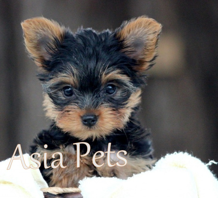 Yorkshire Terrier puppy for sale in india, Yorkshire Terrier puppy price in India