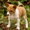 Basenji puppies for sale in India, Basenji puppies price in India