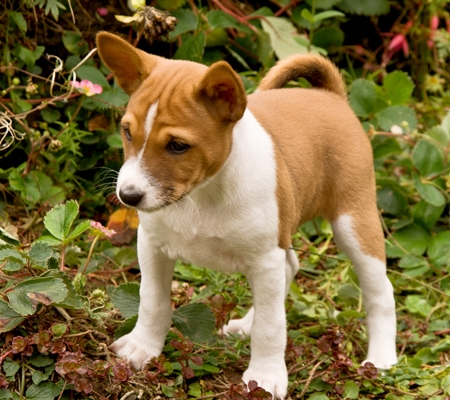 Basenji puppy for sale