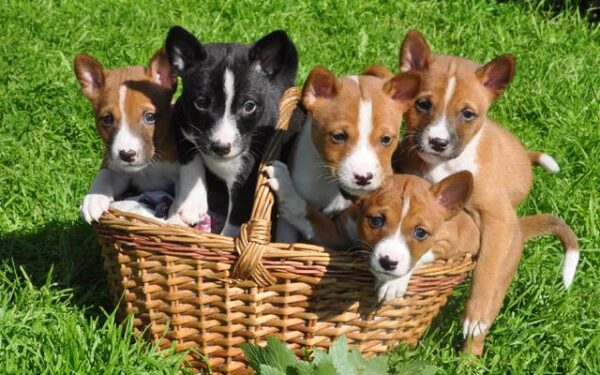 basenji puppy price in india, basenji puppy for sale in india