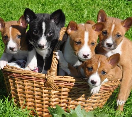 basenji puppy price in india
