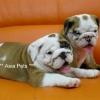 american bulldog puppy for sale in india, american bulldog pup price in india