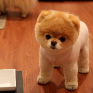 Boo Dog Puppy For Sale in Delhi, Best Price in India