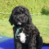 american barbet puppy for sale