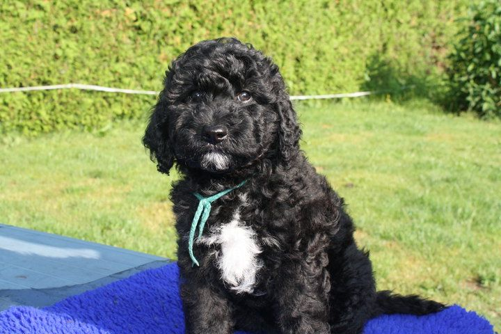 american barbet puppy for sale in india, american barbet puppy for sale