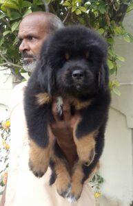 Tibetan mastiff puppy for sale in delhi