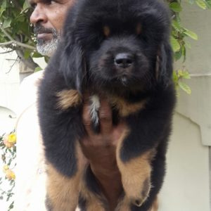 Tibetan mastiff puppy for sale in delhi