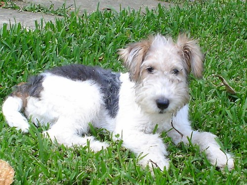 Fox Terrier Puppies for sale in India
