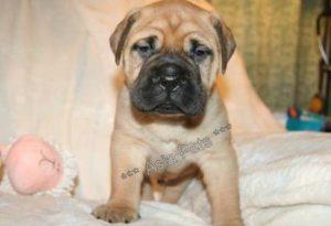 bullmastiff puppy price in india