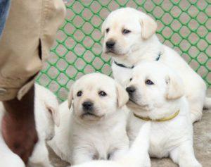 labrador puppy for sale in delhi, Labrador pup price in delhi