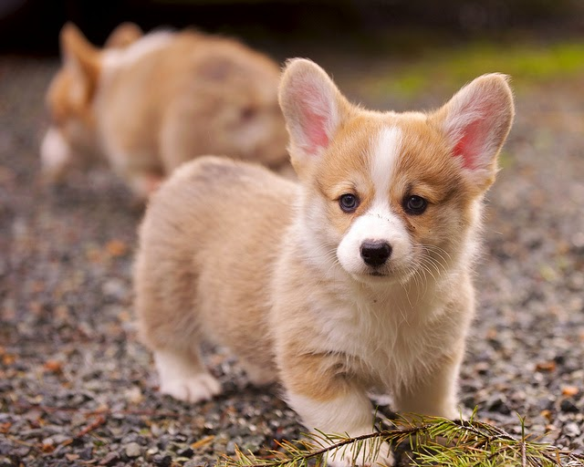 Cardigan welsh corgi puppies for sale in India, Cardigan welsh corgi puppies price in India