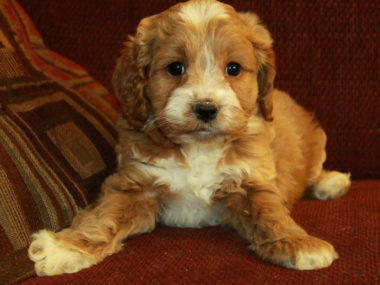 Cockapoo puppies for sale in India, Cockapoo puppies price in India