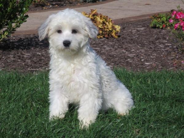 Coton de tulear puppies for sale in India, Coton de tulear puppies price in India