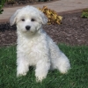 Coton de tulear puppies for sale in India, Coton de tulear puppies price in India