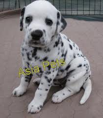Dalmatian Puppy for sale in India