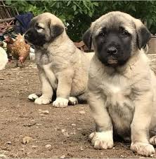 Kurdish Kangal Puppies For Sale in India