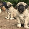 Kurdish Kangal Puppies For Sale in India