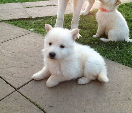 Long coat white german shepherd puppy for sale