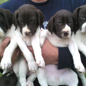 English Pointer Puppies for sale in india