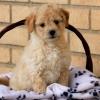 Peekapoo Puppies for sale in india