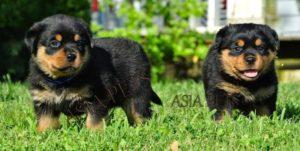 Rottweiler puppy for sale in delhi, Rottweiler Price in Delhi