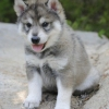 Tamaskan puppy for sale