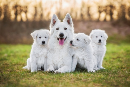 White Shepherd puppies for sale
