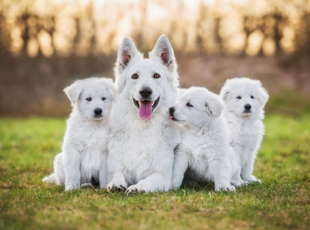 White Shiloh Shepherd Puppy for sale in india
