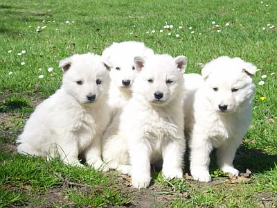 White german shepherd puppy for sale in india