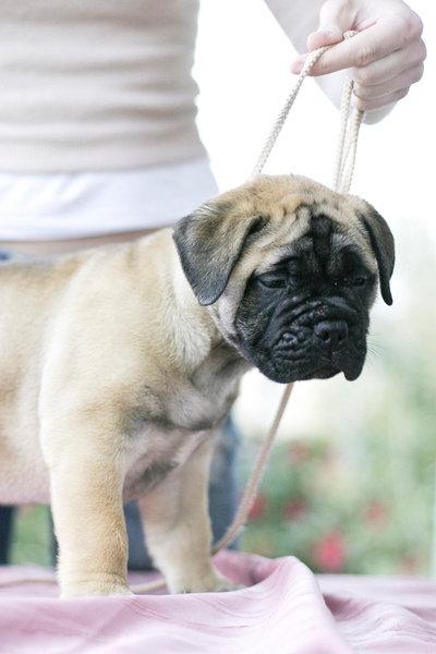 bullmastiff puppy for sale in india
