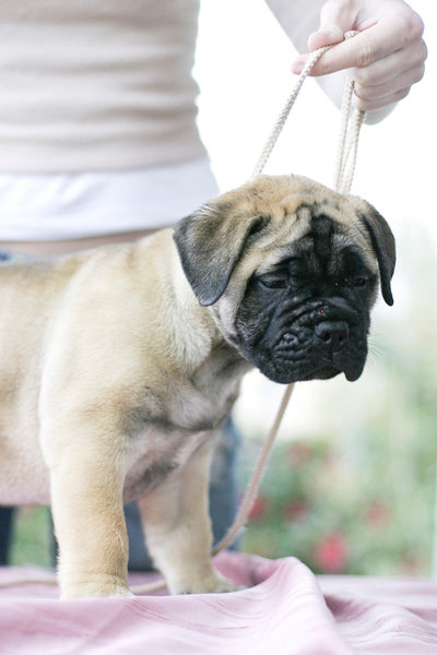 bullmastiff puppy for sale in india