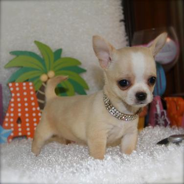 Chihuahua puppy for sale in india, Chihuahua price in india