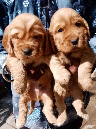 Cocker Spaniel puppies for sale in India, Cocker Spaniel puppies price in India
