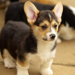 Welsh corgi puppy for sale in india