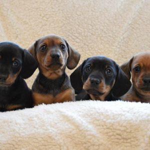 Dachshund Puppies for sale in delhi