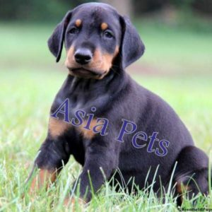 Doberman Puppy for sale in India