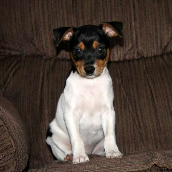 Smooth Fox Terrier Puppies for sale
