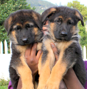 german shepherd puppy price in delhi