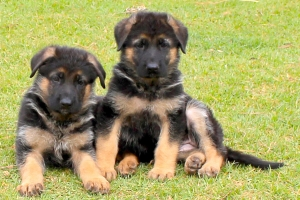 german shepherd puppy for sale in delhi, Best price of german shepherd