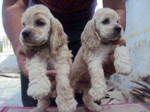 american cocker spaniel puppy for sale in india