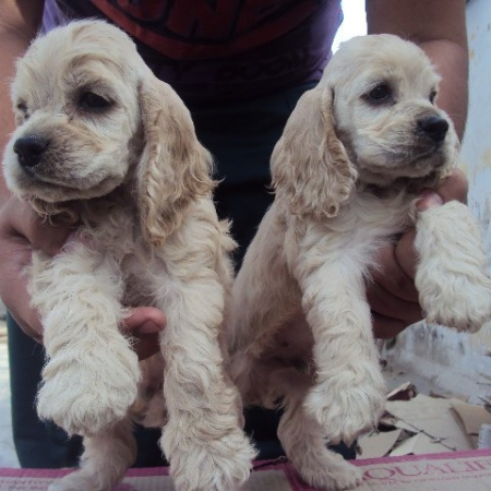 American cocker spaniel puppy for sale