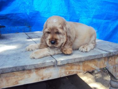 american cocker spaniel puppy price in india