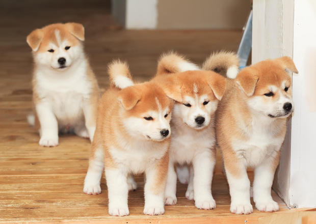 Japanese Akita puppy for sale in India